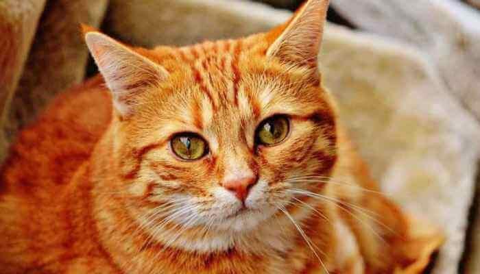 gato de ojos y pelaje exuberante