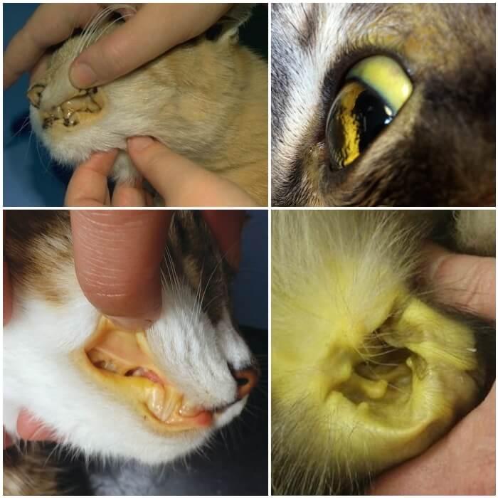gato con color amarillo en ojos, mucosas y piel