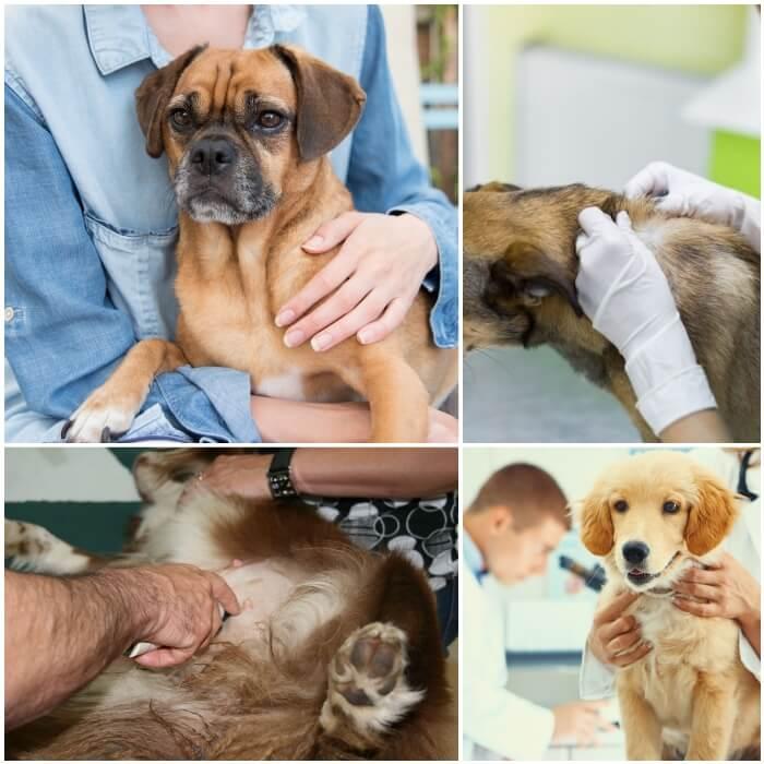 dueño revisando el cuerpo de su perro