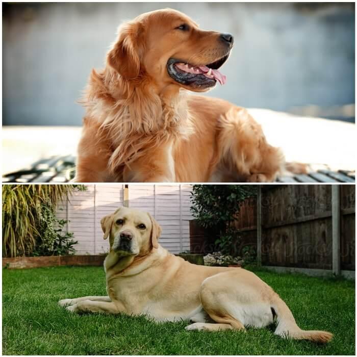 imagen comparativa entre golden retriever y labrador
