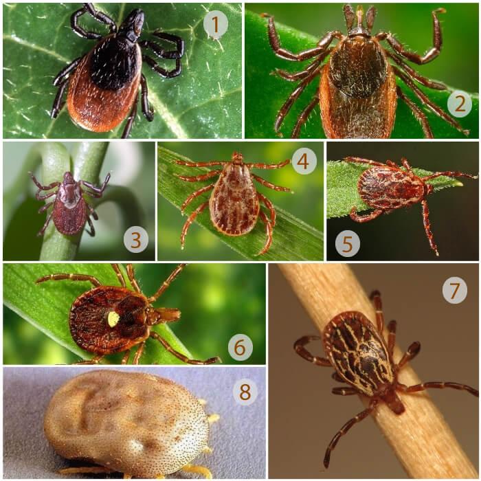 8 especies diferentes de garrapatas