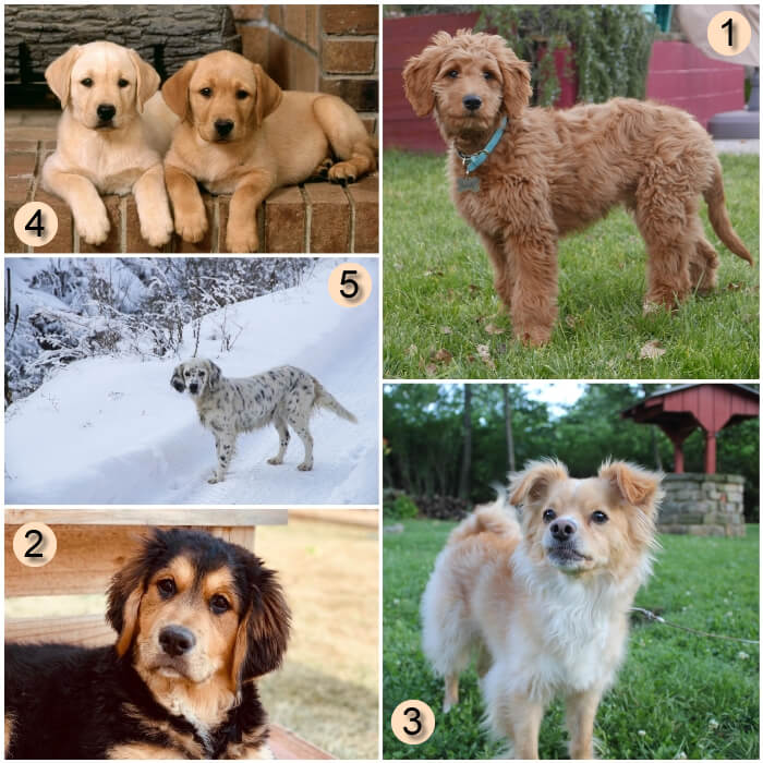 selección de golden retrievers mixtos