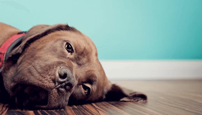 perro con mirada triste acostado en el suelo