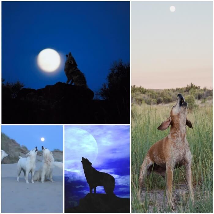 perro que aúlla a la luna de noche
