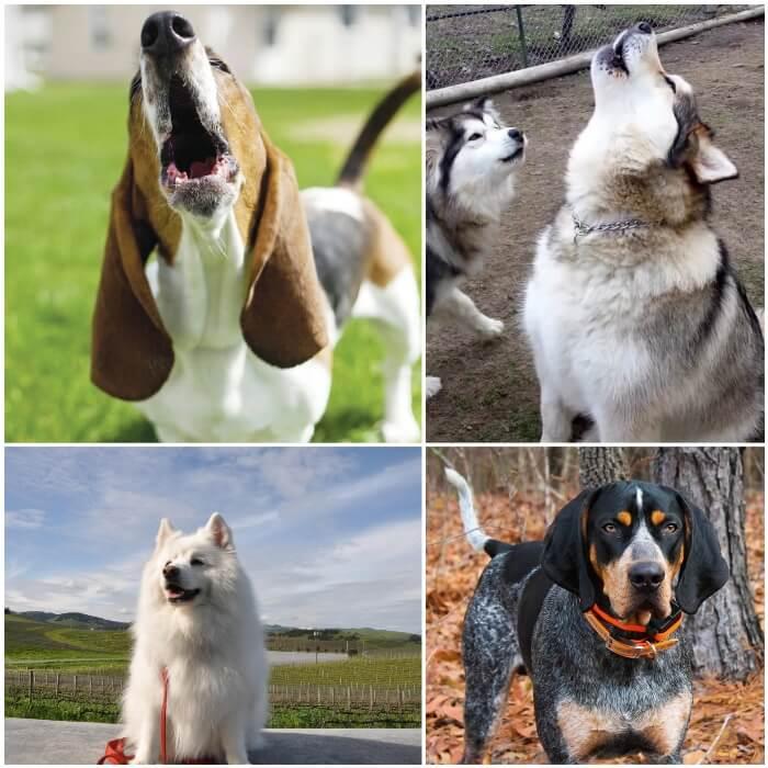 perro beagle aullando