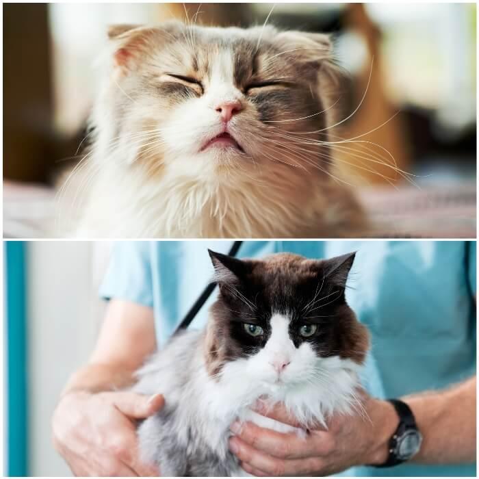 gato siendo examinado por el veterinario