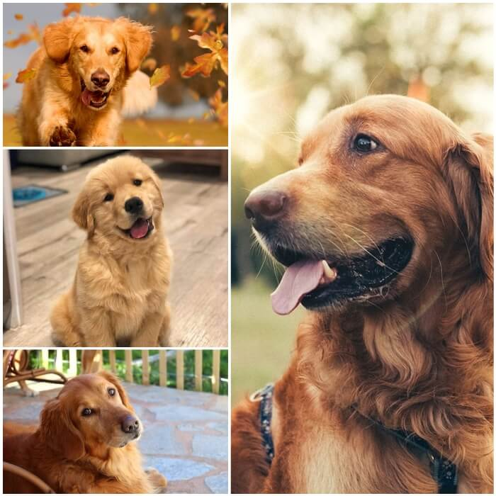 golden retrievers de capa dorada intensa