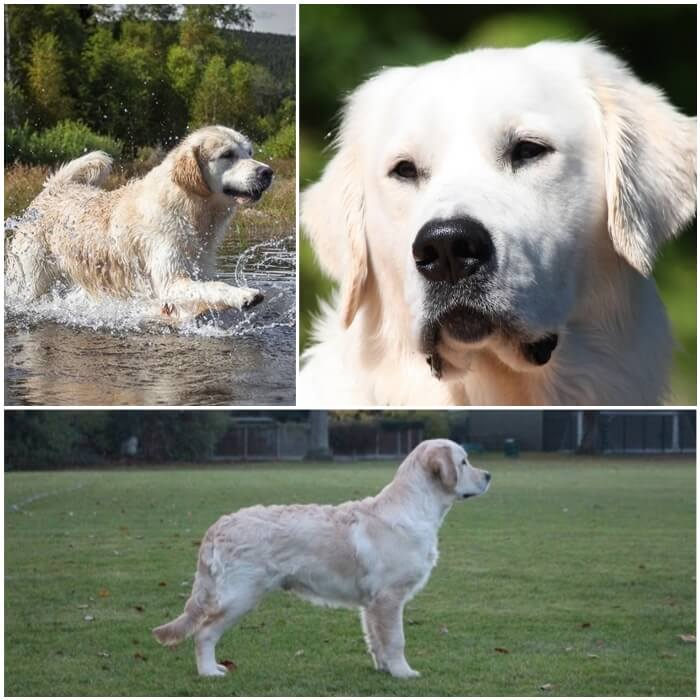 golden retriever de color crema exuberante
