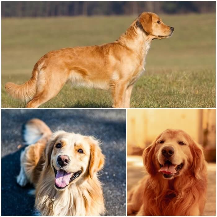 perro golden retriever de capa dorada brillante