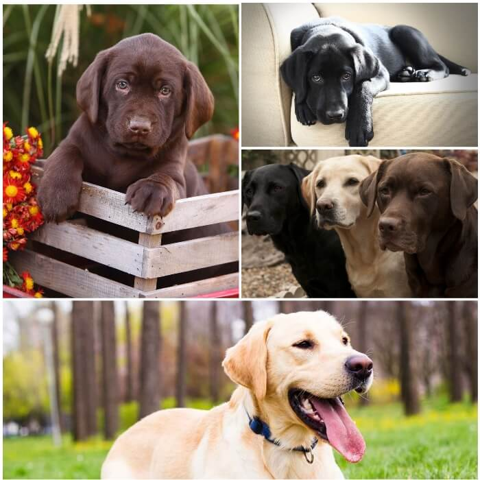perros labradores de diferentes colores y tamaños