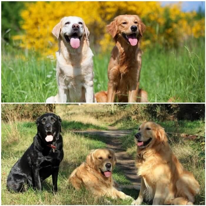 grupo de diferentes perros retrievers