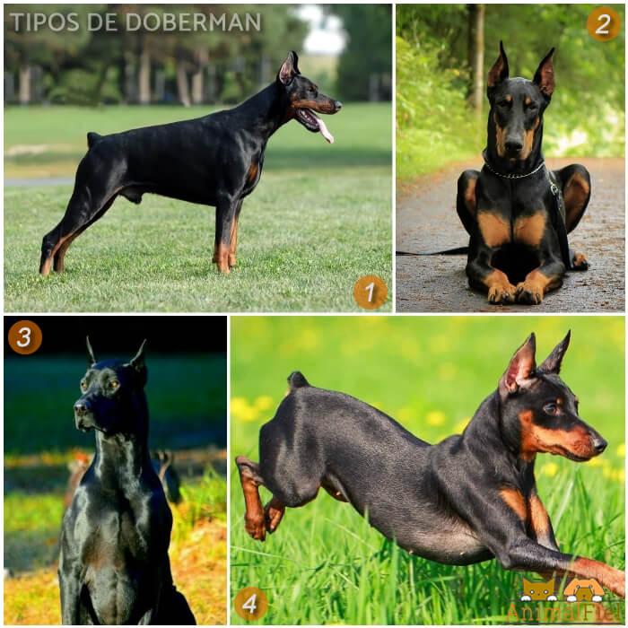 diferentes perros doberman
