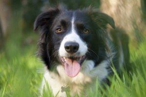 perro border collie entre la hierba
