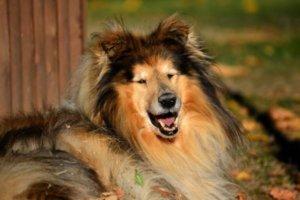perro collie de pelo exuberante