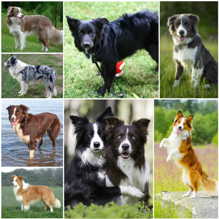 perros border collies de diferentes colores