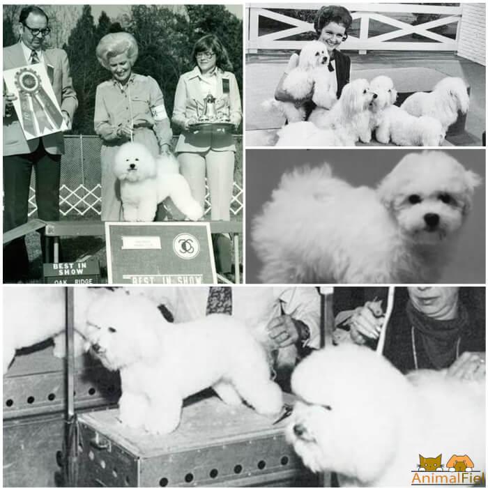 bichón frisé actual en fotos del siglo XX