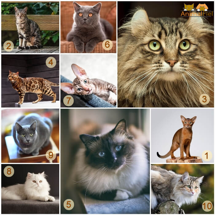 collage de gatos que menos maúllan