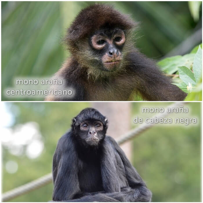 mono peludo completamente negro