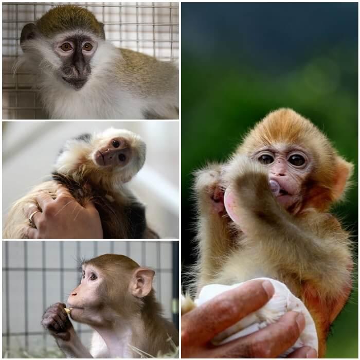 mono bebé en manos de su dueño