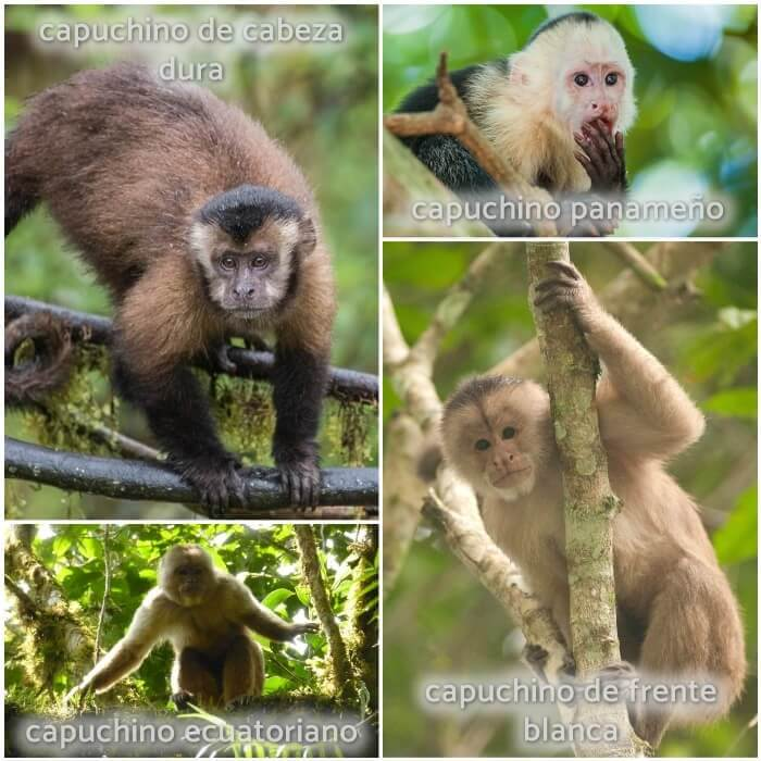 mono capuchino en las ramas de un árbol