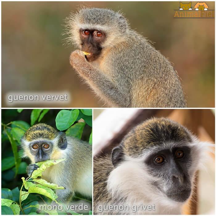 mono guenon comiendo fruta