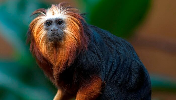 mono peludo de cabeza y patas doradas