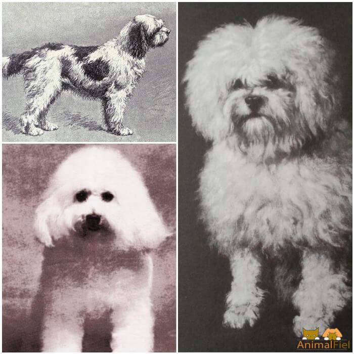 perro ancestro del bichón frisé