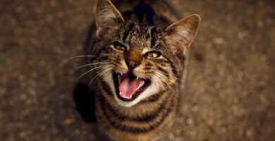 Gato maullando en la noche