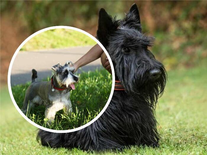 terrier escocés jugando con su dueño