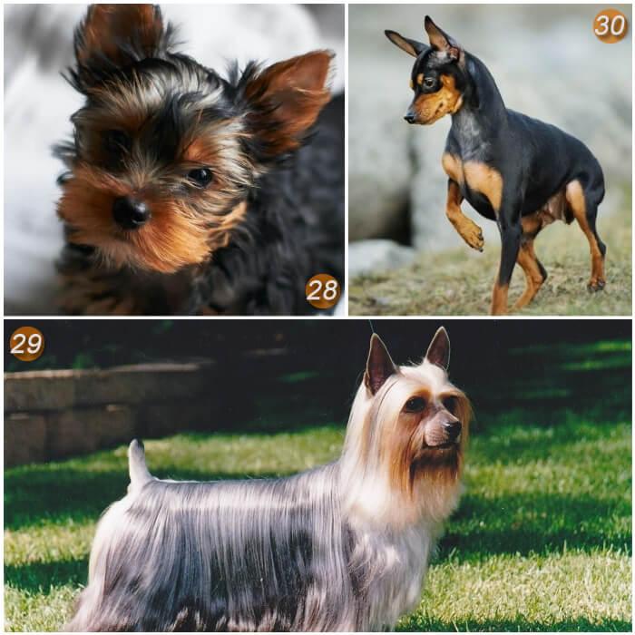 perro terrier de pelaje sedoso y brillante