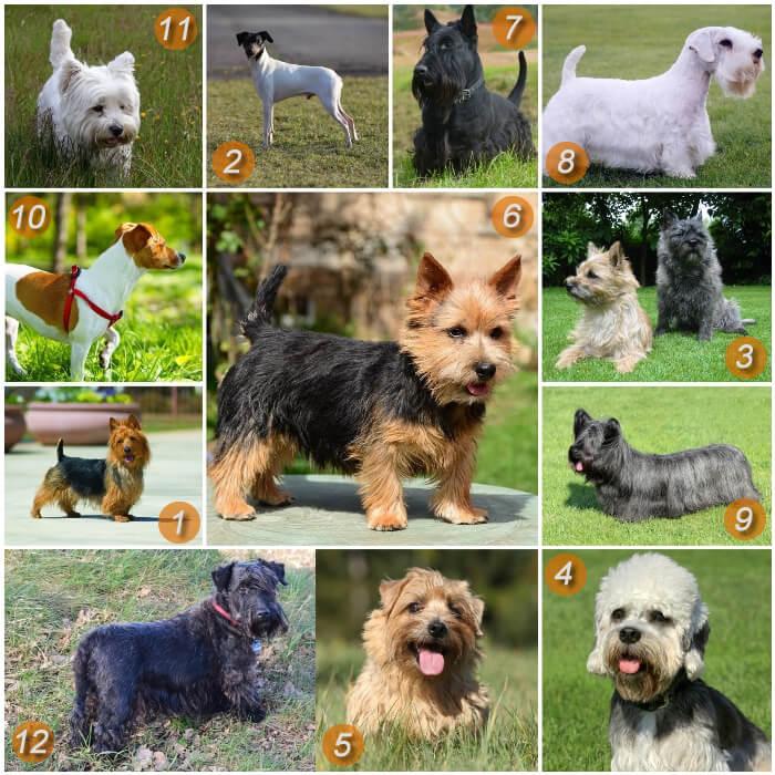 diferentes perros terrier pequeños