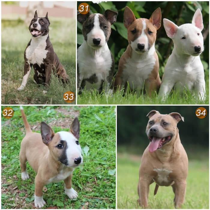 perros pitbull parados sobre la hierba