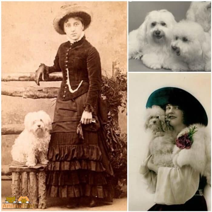 bichón frisé en fotografías de los 1900
