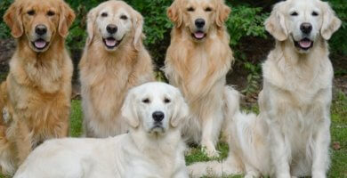 retrievers de diferentes colores