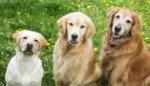 tres perros retrievers uno al lado del otro