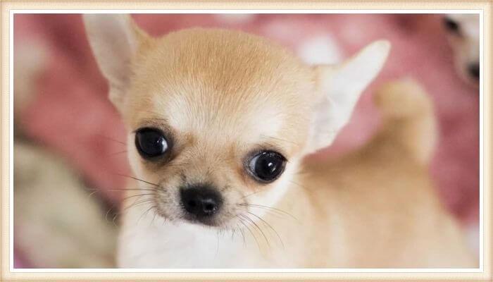 bonito chihuahua cabeza de manzana y ojos saltones