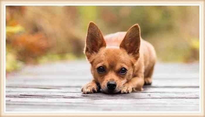 chihuahua agazapado con las orejas elevadas