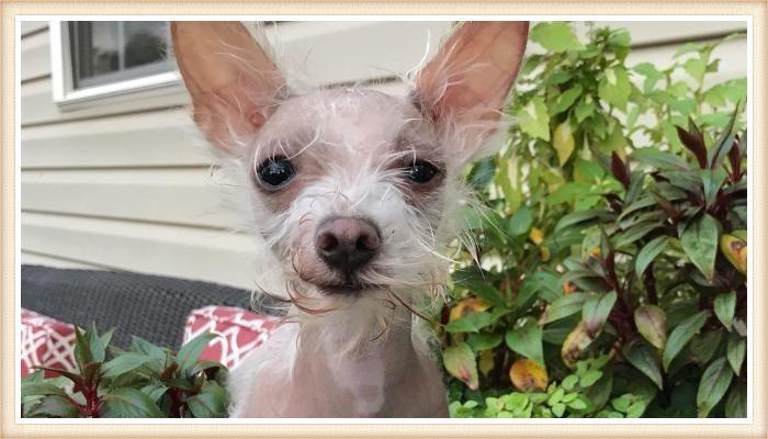 perro chihuahua sin pelo con orejas totalmente erguidas