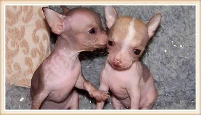 dúo de cachorrillos chihuahuas sin pelo