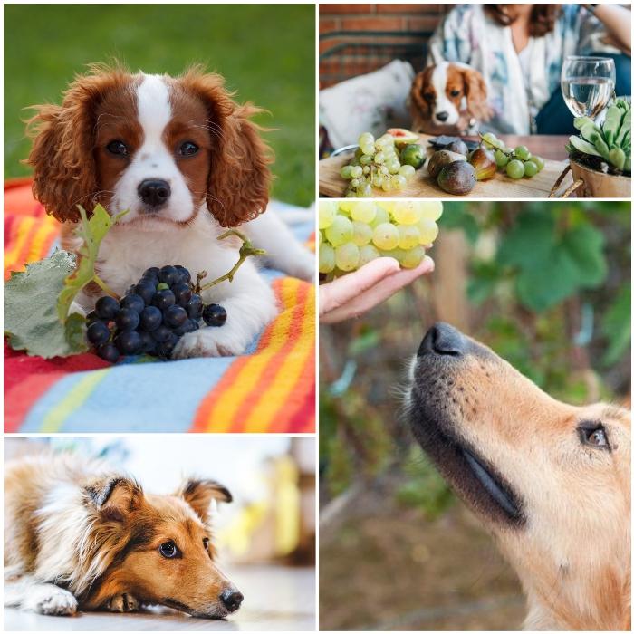 perro cocker spaniel junto a un ramo de uvas moradas