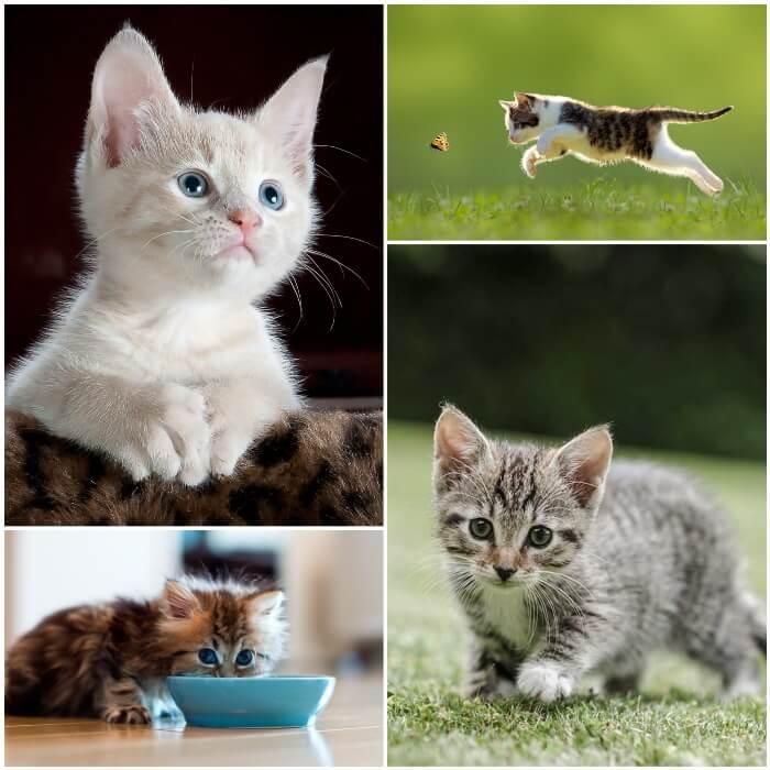 gatico blanco de ojos azules en posición atenta