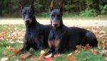 perros doberman echados sobre la hierba