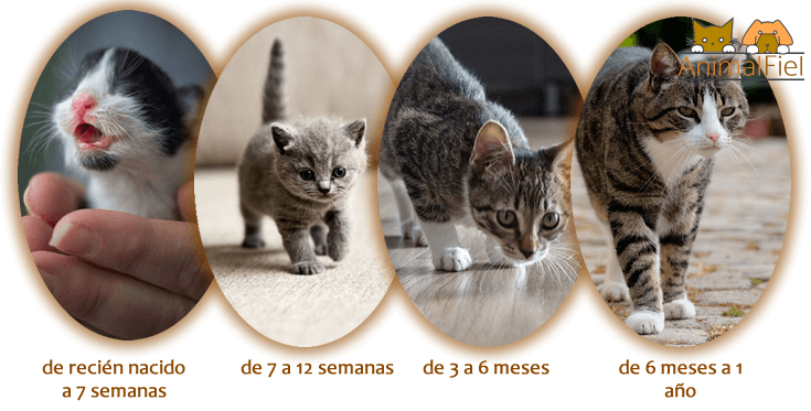 imagen ilustrativa sobre la evolución y crecimiento del gato