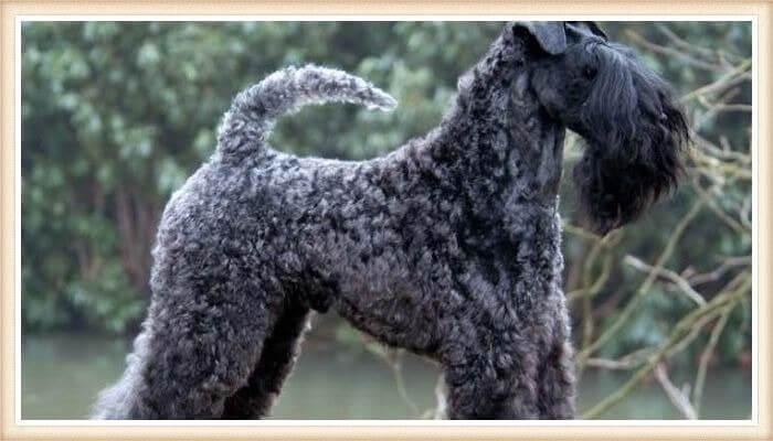 hermoso kerry blue terrier de capa azulada