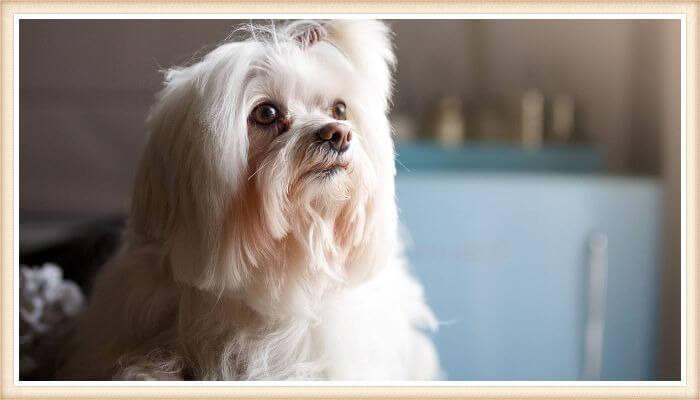 lhasa apso de pelo largo blanco y coleta en la cabeza