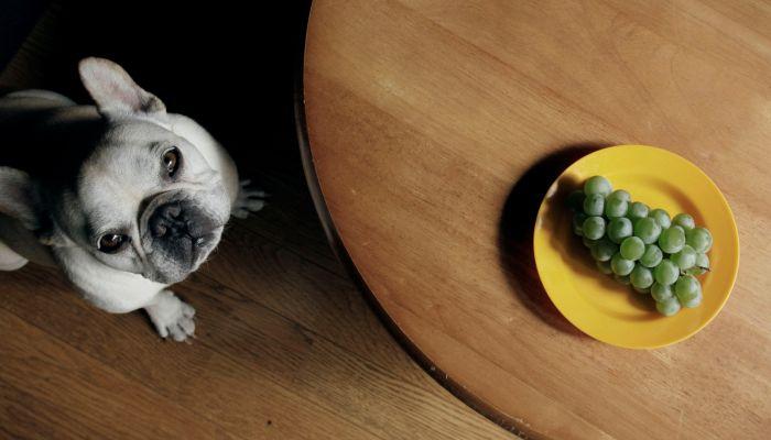 perro mirando un ramo de uvas desde el suelo
