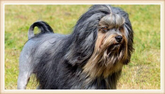 perro lowchen de pelo facial dorado