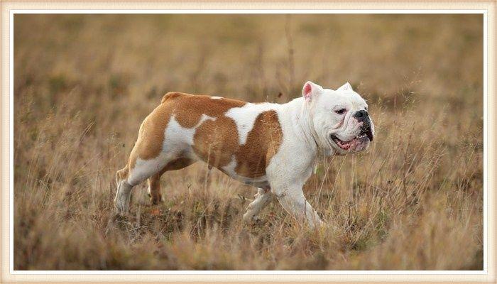 bulldog caminando entre la hierba seca