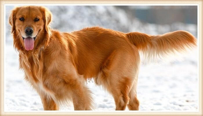 golden retriever hermoso con la cola alargada