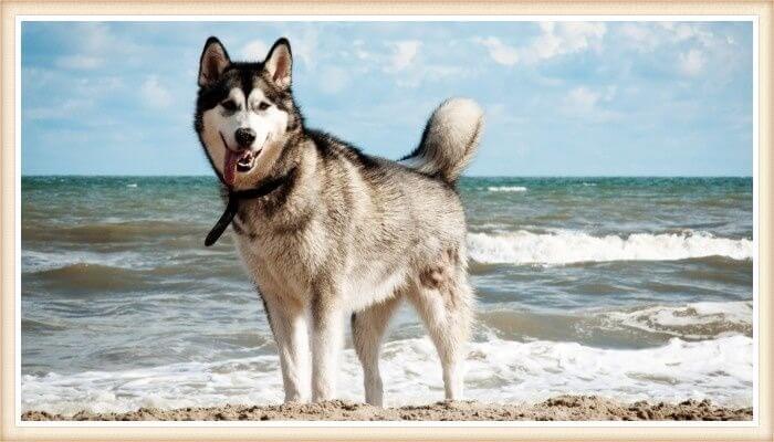 bello husky siberaino parado a la orilla del mar